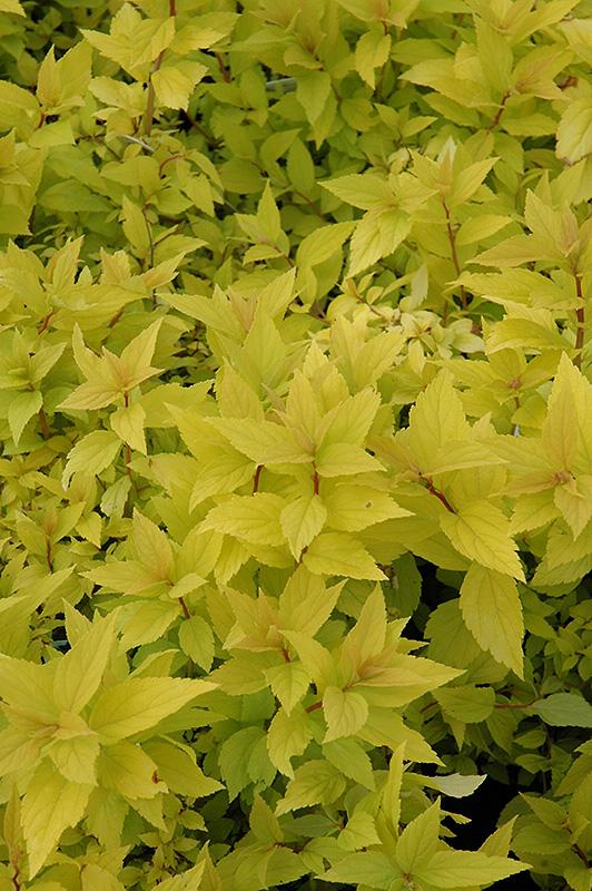 Goldmound Spirea (Spiraea japonica 'Goldmound') at Highland Avenue Greenhouse