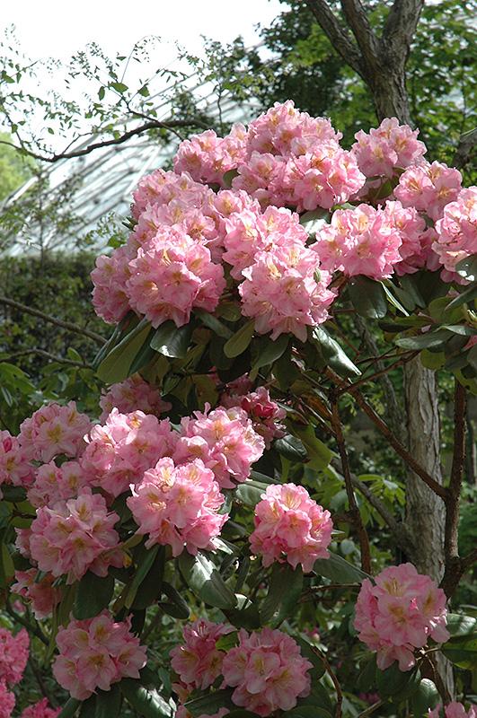 Scintillation Rhododendron (Rhododendron 'Scintillation') at Highland Avenue Greenhouse