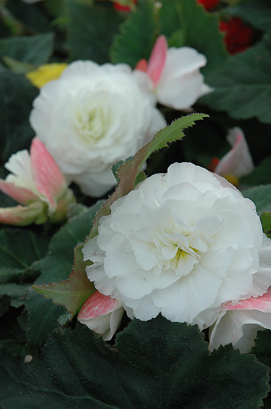 Nonstop Appleblossom Begonia (Begonia 'Nonstop Appleblossom') at Highland Avenue Greenhouse