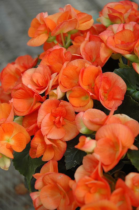 Batik Begonia (Begonia 'Batik') at Highland Avenue Greenhouse