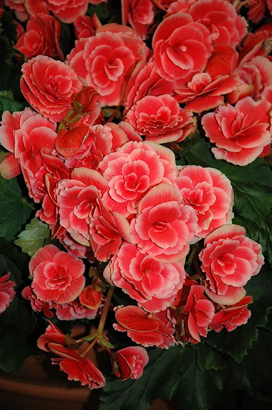 Borias Begonia (Begonia 'Borias') at Highland Avenue Greenhouse