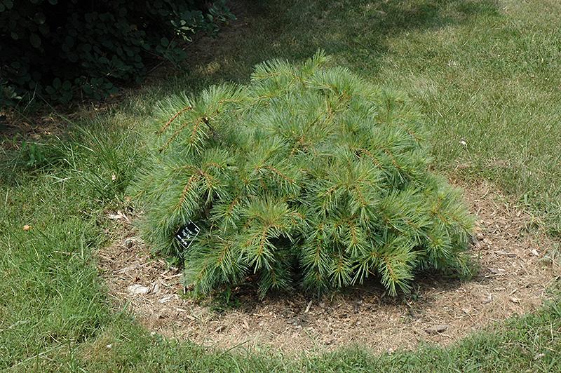 Shaggy Dog White Pine (Pinus strobus 'Shaggy Dog') at Highland Avenue Greenhouse