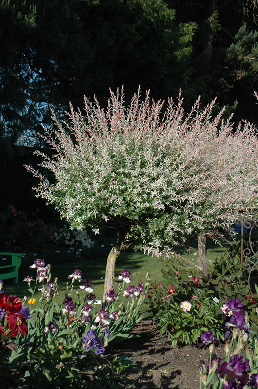Tricolor Willow (tree form) (Salix integra 'Hakuro Nishiki (tree form)') at Highland Avenue Greenhouse