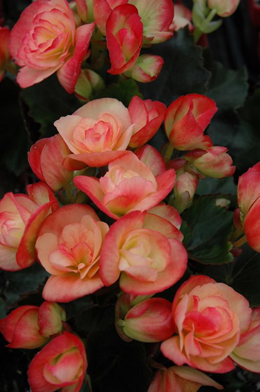 Frinzies Janny Fringed Begonia (Begonia 'Frinzies Janny Fringed') at Highland Avenue Greenhouse