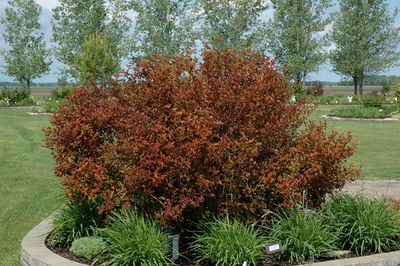 Coppertina Ninebark (Physocarpus opulifolius 'Mindia') at Highland Avenue Greenhouse