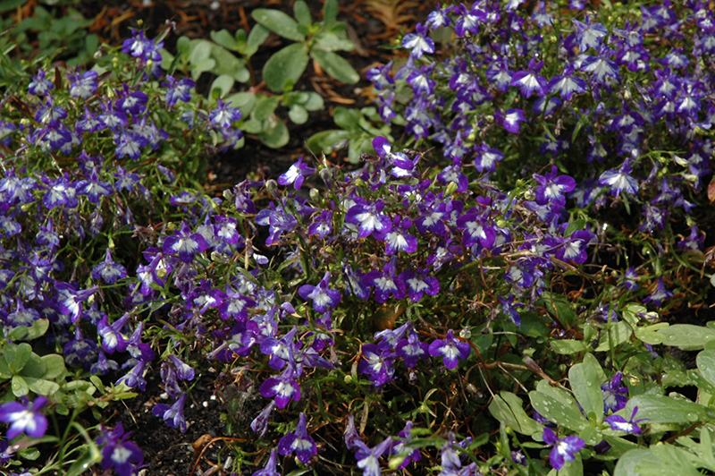 Bella Donna Lobelia Lobelia Erinus Bella Donna In Scarborough