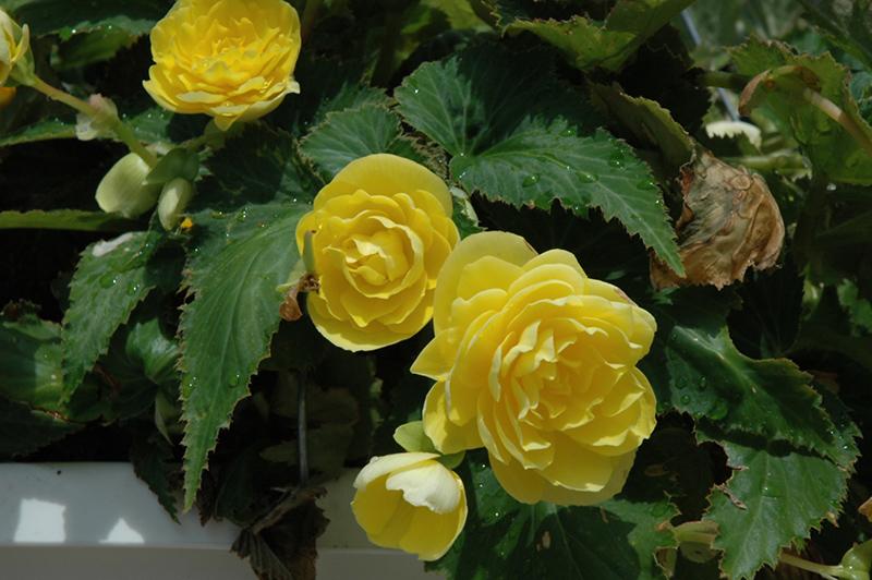 Nonstop Joy Yellow Begonia (Begonia 'Nonstop Joy Yellow') at Highland Avenue Greenhouse