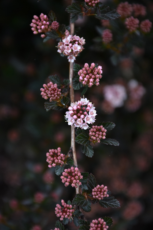 Little Devil Ninebark (Physocarpus opulifolius 'Donna May') at Highland Avenue Greenhouse
