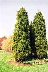 Eastern Redcedar (Juniperus virginiana) at Highland Avenue Greenhouse