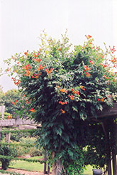 Trumpetvine (Campsis radicans) at Highland Avenue Greenhouse