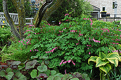 Common Bleeding Heart (Dicentra spectabilis) at Highland Avenue Greenhouse