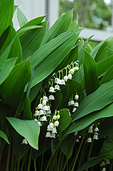 Lily-Of-The-Valley (Convallaria majalis) at Highland Avenue Greenhouse