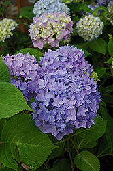 Endless Summer® Hydrangea (Hydrangea macrophylla 'Endless Summer') at Highland Avenue Greenhouse