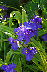 Sweet Kate Spiderwort (Tradescantia x andersoniana 'Sweet Kate') at Highland Avenue Greenhouse