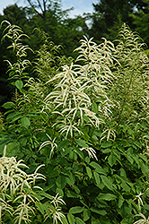 Goatsbeard (Aruncus dioicus) at Highland Avenue Greenhouse