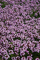 Red Creeping Thyme (Thymus praecox 'Coccineus') at Highland Avenue Greenhouse