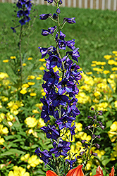 Black Knight Larkspur (Delphinium 'Black Knight') at Highland Avenue Greenhouse