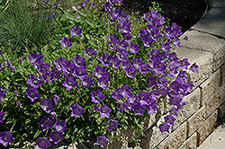 Blue Clips Bellflower (Campanula carpatica 'Blue Clips') at Highland Avenue Greenhouse