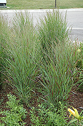 Shenandoah Reed Switch Grass (Panicum virgatum 'Shenandoah') at Highland Avenue Greenhouse