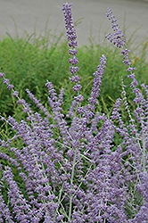 Russian Sage (Perovskia atriplicifolia) at Highland Avenue Greenhouse