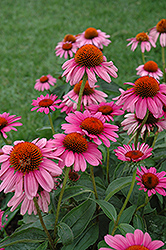Ruby Star™ Coneflower (Echinacea purpurea 'Rubinstern') at Highland Avenue Greenhouse