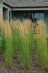 Karl Foerster Reed Grass (Calamagrostis x acutiflora 'Karl Foerster') at Highland Avenue Greenhouse