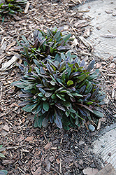 Chocolate Chip Bugleweed (Ajuga reptans 'Chocolate Chip') at Highland Avenue Greenhouse