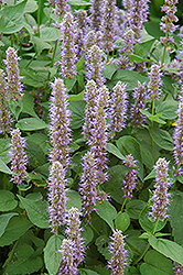 Blue Fortune Anise Hyssop (Agastache 'Blue Fortune') at Highland Avenue Greenhouse