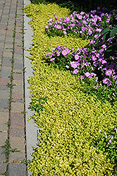 Golden Creeping Jenny (Lysimachia nummularia 'Aurea') at Highland Avenue Greenhouse