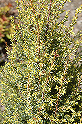 Gold Cone Juniper (Juniperus communis 'Gold Cone') at Highland Avenue Greenhouse