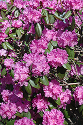 P.J.M. Rhododendron (Rhododendron 'P.J.M.') at Highland Avenue Greenhouse