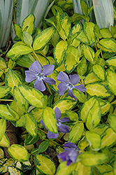 Illumination Periwinkle (Vinca minor 'Illumination') at Highland Avenue Greenhouse
