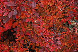 Rose Glow Japanese Barberry (Berberis thunbergii 'Rose Glow') at Highland Avenue Greenhouse