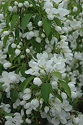 Spring Snow Flowering Crab (Malus 'Spring Snow') at Highland Avenue Greenhouse