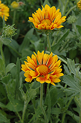 Oranges And Lemons Blanket Flower (Gaillardia x grandiflora 'Oranges And Lemons') at Highland Avenue Greenhouse