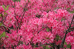 Northern Lights Azalea (Rhododendron 'Northern Lights') at Highland Avenue Greenhouse