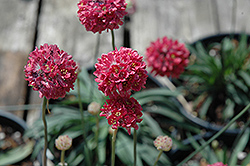 Joystick Red Sea Thrift (Armeria pseudarmeria 'Joystick Red') at Highland Avenue Greenhouse