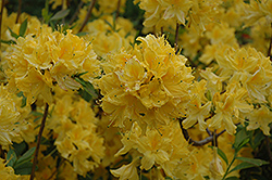 Lemon Lights Azalea (Rhododendron 'Lemon Lights') at Highland Avenue Greenhouse
