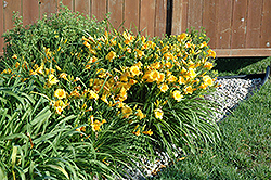 Stella de Oro Daylily (Hemerocallis 'Stella de Oro') at Highland Avenue Greenhouse