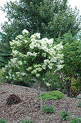 Pink Diamond Hydrangea (tree form) (Hydrangea paniculata 'Pink Diamond (tree form)') at Highland Avenue Greenhouse