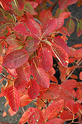 Autumn Brilliance Serviceberry (Amelanchier x grandiflora 'Autumn Brilliance') at Highland Avenue Greenhouse