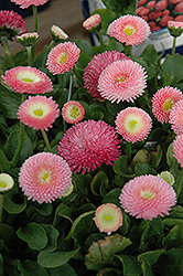 Tasso Pink English Daisy (Bellis perennis 'Tasso Pink') at Highland Avenue Greenhouse