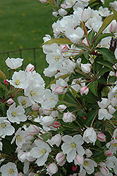 Adirondack Flowering Crab (Malus 'Adirondack') at Highland Avenue Greenhouse