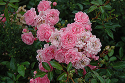 The Fairy Rose (Rosa 'The Fairy') at Highland Avenue Greenhouse