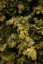 Golden Hinoki Falsecypress (Chamaecyparis obtusa 'Aurea') at Highland Avenue Greenhouse