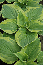 Wide Brim Hosta (Hosta 'Wide Brim') at Highland Avenue Greenhouse
