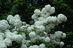 Chinese Snowball Viburnum (Viburnum macrocephalum) at Highland Avenue Greenhouse