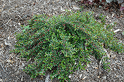 Little Gem Cotoneaster (Cotoneaster adpressus 'Little Gem') at Highland Avenue Greenhouse
