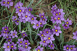 Lucerne Blue-Eyed Grass (Sisyrinchium angustifolium 'Lucerne') at Highland Avenue Greenhouse