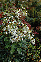 Mountain Fire Japanese Pieris (Pieris japonica 'Mountain Fire') at Highland Avenue Greenhouse